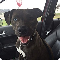 Adopt A Pet :: Lakely - Newport, KY