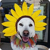 Adopt A Pet :: Macy - Coppell, TX