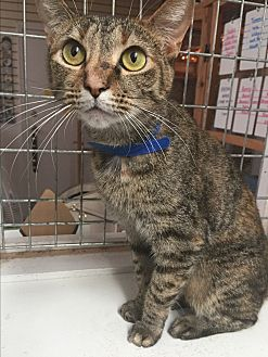Domestic Shorthair Cat for adoption in Floral City, Florida - Taffy
