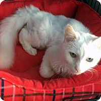 Domestic Longhair Cat for adoption in Monroe, North Carolina - Beamer