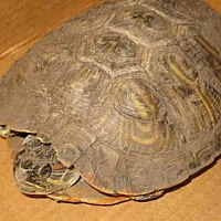 Turtle - Other for adoption in Burbank, California - A067699