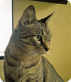 Domestic Shorthair Cat for adoption in Sheboygan, Wisconsin - Milo