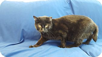 Domestic Shorthair Cat for adoption in Hawk Point, Missouri - Maggy