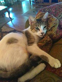 Domestic Shorthair Cat for adoption in Bulverde, Texas - Stella 3