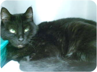 Domestic Shorthair Cat for adoption in Maywood, New Jersey - Wendy
