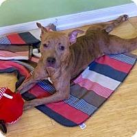 American Pit Bull Terrier Mix Dog for adoption in Sayville, New York - Shuga