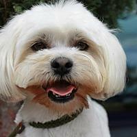 Maltese/Poodle (Miniature) Mix Dog for adoption in El Segundo, California - Sundance