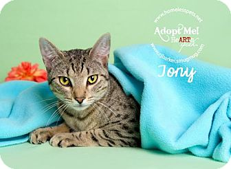 Domestic Shorthair Cat for adoption in Houston, Texas - Tony