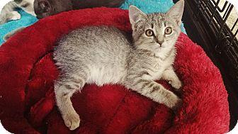 Manx Kitten for adoption in Cerritos, California - Haley