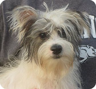 Yorkie, Yorkshire Terrier Puppy for adoption in Salem, New Hampshire - Luther