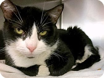 Domestic Shorthair Cat for adoption in Philadelphia, Pennsylvania - Abby
