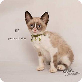 Snowshoe Kitten for adoption in Corona, California - ELF