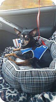 Miniature Pinscher Dog for adoption in Freedom, Pennsylvania - Lilly
