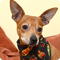Miniature Pinscher/Terrier (Unknown Type, Small) Mix Dog for adoption in Bowie, Maryland - Pending! Chilli