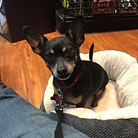 Chihuahua Mix Dog for adoption in Oakhurst, New Jersey - Chucky