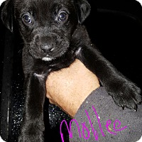 Adopt A Pet :: Mollee - Niagra Falls, NY