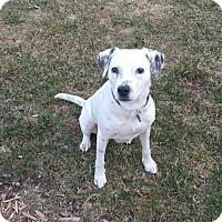 Adopt A Pet :: Snowball D3619 - Shakopee, MN