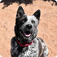Australian Cattle Dog Mix Dog for adoption in Santa Fe, New Mexico - MEADOW