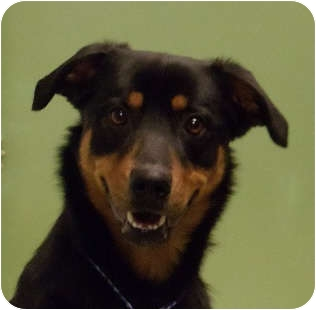 Rottweiler Mix Dog for adoption in Schaumburg, Illinois - Lloyd