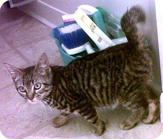 Domestic Shorthair Kitten for adoption in Bayonne, New Jersey - Cruz