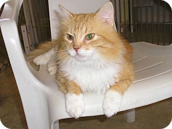 Domestic Longhair Cat for adoption in Geneseo, Illinois - Sweeney