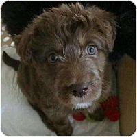Adopt A Pet :: Brooke - adoption pending - Phoenix, AZ