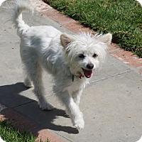 Adopt A Pet :: Betty White - La Habra Heights, CA