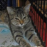 Domestic Mediumhair Cat for adoption in Columbus, Ohio - Harlow