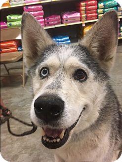 Husky/Alaskan Malamute Mix Dog for adoption in Bellingham, Washington - Luna