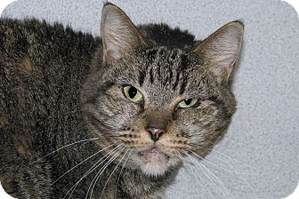 Domestic Shorthair Cat for adoption in Ruidoso, New Mexico - Nani