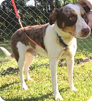Anatolian Shepherd Mix Dog for adoption in Savannah, Georgia - Hippy