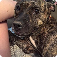 Plott Hound Mix Dog for adoption in Jacksonville, Florida - Glitterbug