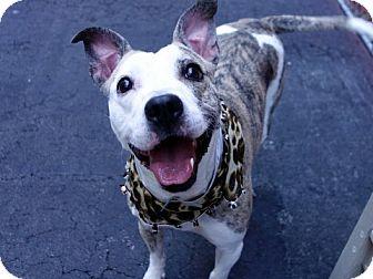 Pit Bull Terrier Mix Dog for adoption in Boston, Massachusetts - MO