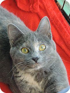 Domestic Shorthair Cat for adoption in Brookings, South Dakota - Linnea
