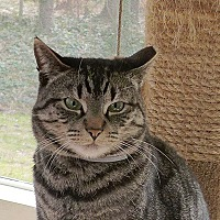 Domestic Shorthair Cat for adoption in Durham, North Carolina - Max