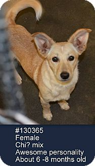 Dachshund/Terrier (Unknown Type, Small) Mix Dog for adoption in North Brunswick, New Jersey - Pixie