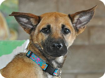Belgian Malinois/German Shepherd Dog Mix Dog for adoption in Griffith, Indiana - WOODY  ADOPTED