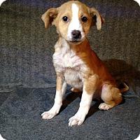Adopt A Pet :: Schnapps - Toledo, OH
