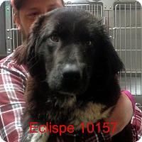 Adopt A Pet :: Eclipse - baltimore, MD