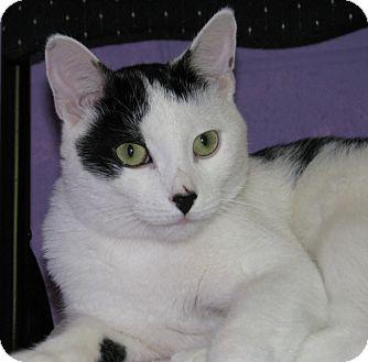 Domestic Shorthair Cat for adoption in New Kensington, Pennsylvania - Littlefoot