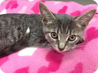 Domestic Shorthair Kitten for adoption in Oyster Bay, New York - JJ