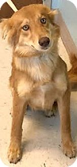 Golden Retriever/Sheltie, Shetland Sheepdog Mix Dog for adoption in Boulder, Colorado - Savannah-Adoption Pending