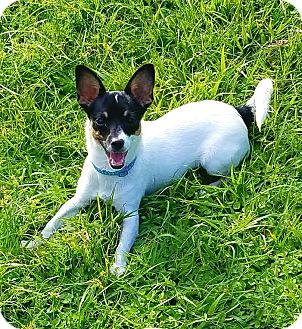 Toy Fox Terrier Dog for adoption in Terra Ceia, Florida - FRIEDA