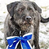 Terrier (Unknown Type, Medium) Mix Dog for adoption in Zanesville, Ohio - Lorenzo - Urgent!