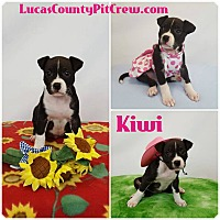 Adopt A Pet :: Kiwi - Toledo, OH