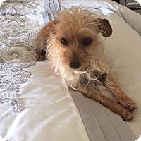 Adopt A Pet :: Betty - El Segundo, CA