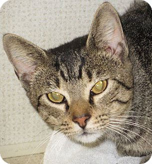 Domestic Shorthair Cat for adoption in Hamilton, New Jersey - SERGIO