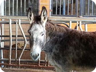 Donkey/Mule/Burro/Hinny Mix for adoption in Sac, California - shadow