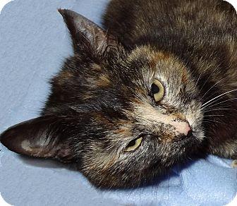 Domestic Shorthair Cat for adoption in Bentonville, Arkansas - Sweetie