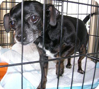 Dachshund/Chihuahua Mix Dog for adoption in Las Vegas, Nevada - Little Bit